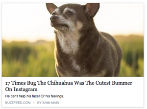Sad Chihuahua the cutest bummer on the internet