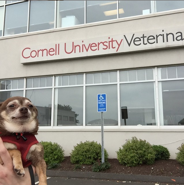 Sad Chihuahua in front of Cornell University Veterinary Specialists